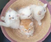 Persa-kitten