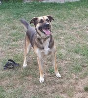 Lucky 5jähriger SchäferhundMix sucht ein
