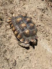 spornschildkröte Sulcata weiblich