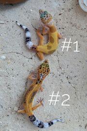 Nachwuchs2021 Leopardgecko Eublepharis macularius