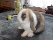 Tolle Original Minilop Kaninchen Babys