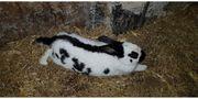 Hasen Kaninchen Kleine Schecken Widder