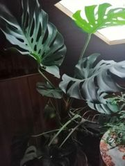 Monstrera Fensterblatt grosse Blätter ca