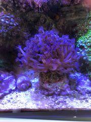 Meerwasser diverse Korallen
