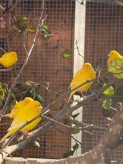intensiv gelbe Kanarien