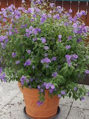 Duft Enzian Strauch Pflanzen Blumen