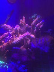 Montipora ableger meerwasser korallen