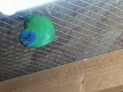 Papageiamadinen dreifarbig mit dna stehen