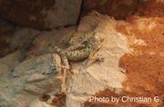 Fächerfingergeckos - Ptyodactylus guttatus DNZ 2018