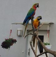Pärchen Papagein