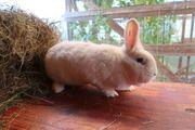 Weise Wiener Häsin Kaninchen