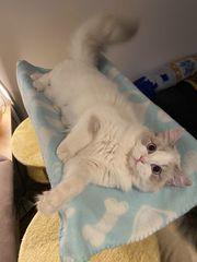 Wurfankündigung Ragdoll Kitten