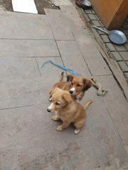 Hundewelpe zu verkaufen