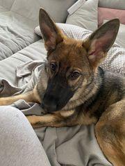 Junger Schäferhund