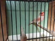 Kanarienvögel Kanarien Isabell rot-mosaik