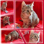Wunderschöne Baby Katze Kitten Lilly