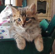 Bengal Kitten marble spottet und