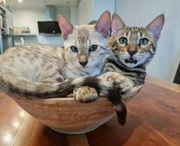 Bengal Katze Bengal kitten Kater