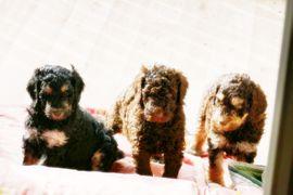 Hunde - Doodle-Pudelwelpen aus unserem Verein mit