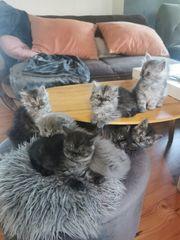 Bkh BLH Kitten Britisch Kurzhaar