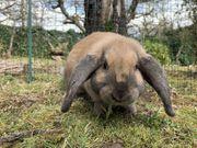 Kaninchen Weibchen Widder gesucht kleine