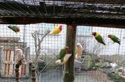 Agaporniden Zwerg Papageien Unzertrennliche