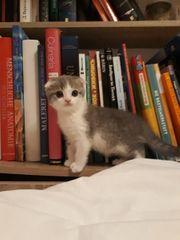 BKH Scottish fold Kitten noch