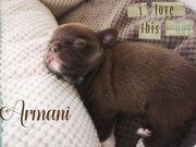 Wunderschöne typvolle Chihuahua Babys mit