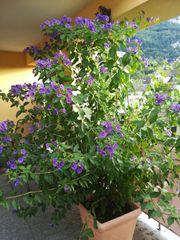 zu VERSCHENKEN Enziansträucher Pflanze Strauch