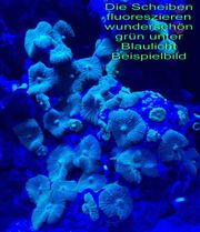 5x Scheibenanemone Discosoma sp green