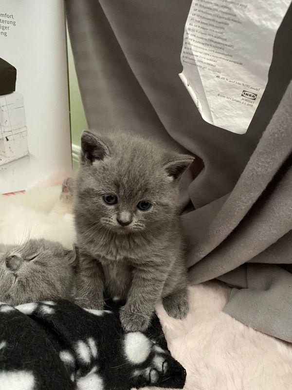 Süße Bkh Kitten in den