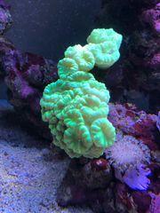 Korallen tauschen