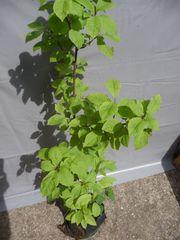 Zwetschgenbäumchen - Zwetschgenbaum