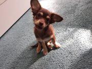 Chihuahua Mädchen mix