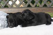 Wunderschöne Labrador Welpchen black o