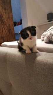 Scottish Fold MIX Kitten suchen