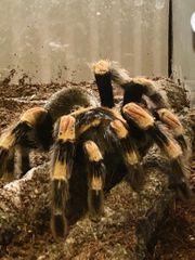 Mexikanische Rotknie-Vogelspinne Rotknievogelspinne Brachypelma smithi