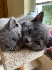 2 BKH Kitten in Blue