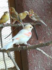 Mosaik Harlekin Fife Satinet Kanarienvögel