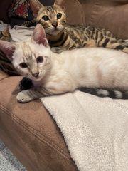 2 Bengal kitten suchen ein