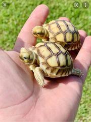 Suche Sulcata bzw Spornschildkröten