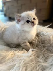 BKH Kitten Reinrassig nur noch