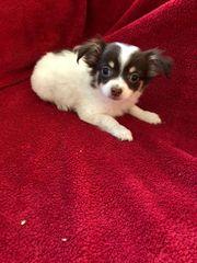 Bezaubernde Chihuahua Welpen in Langhaar