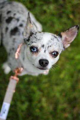 Chihuahua Deckrüde Blue Merle: Kleinanzeigen aus Hardegsen - Rubrik Hunde