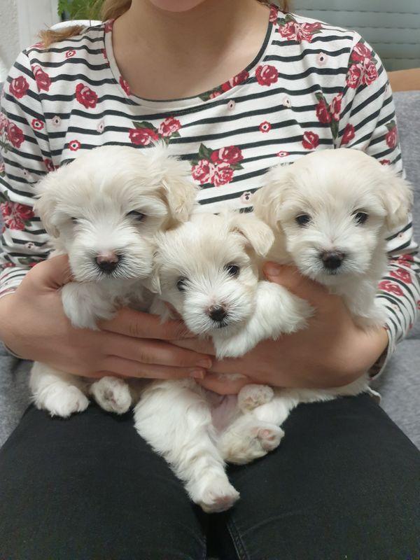 malteser welpen in trossingen - hunde kaufen und verkaufen