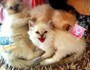 Edel Mix Ragdoll kitten BKH