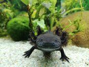 Axolotl Mela Wildling männlich