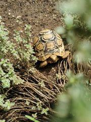 Pantherschildkröten
