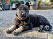 Grauschwarze Schäferhund Welpen mit geradem