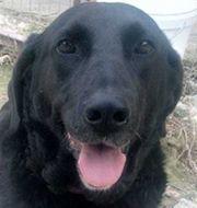 Cayenne black ist beautiful Labrador